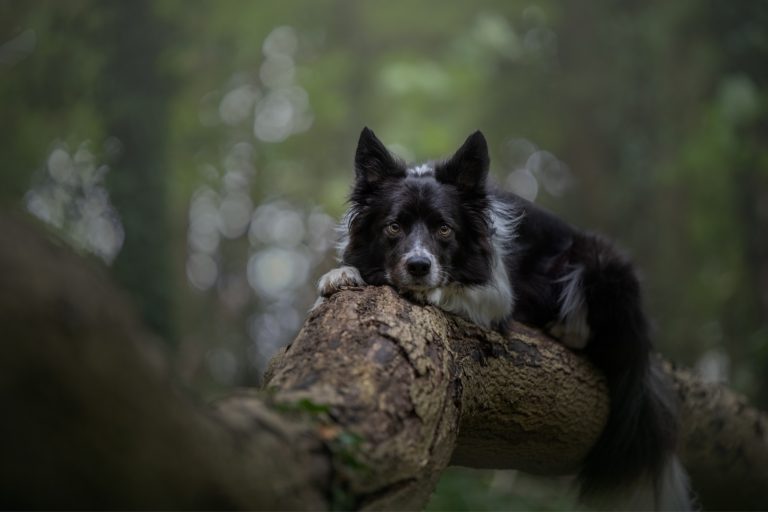 collie dog photographed on a log in Hull