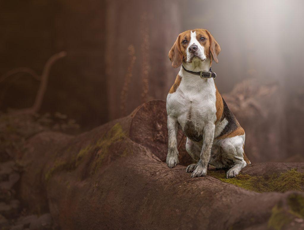Dog portrait Manchester